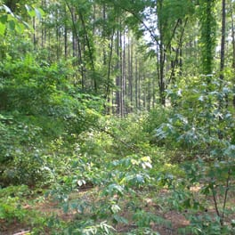 A forest before any understory treatment has been applied.